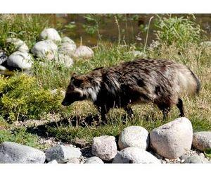 Сезон охоты на пушных зверей стартует на Орловщине 15 сентября