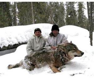 Амурские волки подешевели в три раза