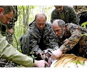 Тигры, выпущенные в тайгу Путиным, охотятся на кабанов и енотов