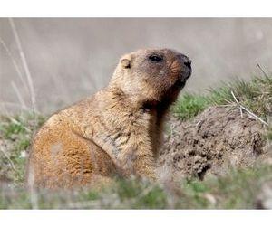 Сурок-байбак может быть внесен в Красную книгу Ульяновской области