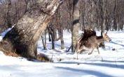 В приморском заповеднике камера зафиксировала нападение беркута на пятнистого оленя