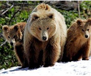 В следующем году медвежья охота в Томской области будет продлена на месяц