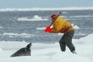 охота на тюленей