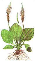 съедобные листья и молодые побеги
