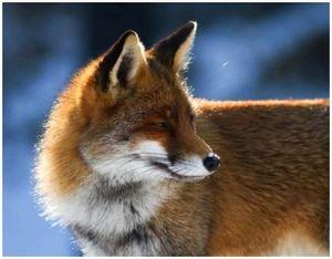 Типы лисиц и особенности их поведения