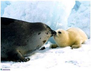 Животное Арктики тюлень