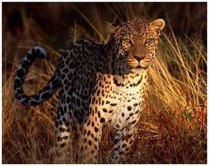 Хищное животное леопард