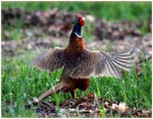 Собаки для охоты на фазана, охота на нее из засидки