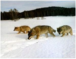 На волков зимой по белой тропе