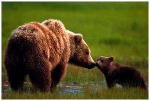 Медведь гризли и его жизнь