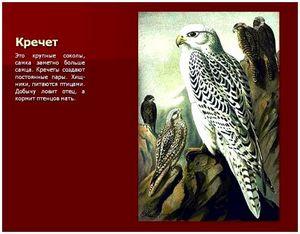 Ловчие птицы: кречет