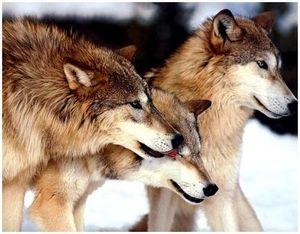 Снаряжение патронов для охоты на волка