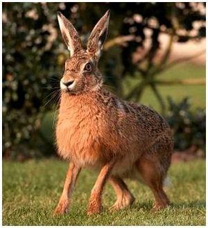 Определение возраста зайца