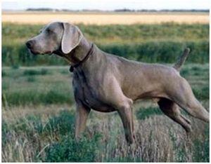 Охотничья собака веймара