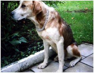 Порода собак - пойнтер