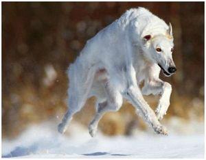 Развитие русских псовых борзых и особенности породы