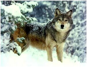 Пахучие и вкусовые приманки для волков