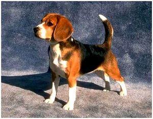 Рефлексы собаки и их значение в дрессировке