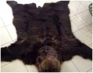Первичная обработка трофеев медведя