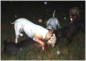 Охота на кабана со стаей собак
