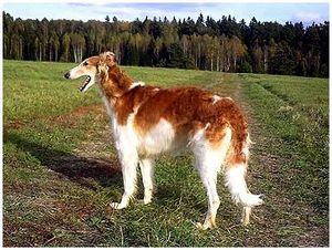 Породы собак: русская псовая борзая