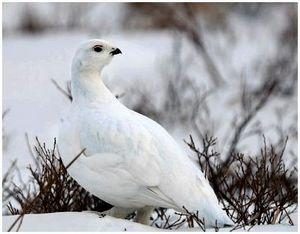 Белый куропач и охота на него