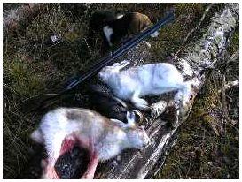 Охота на зайца правила стрельбы