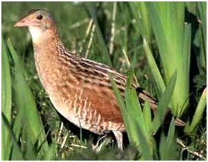 Быстро бегающая птица, живущая в траве - коростель