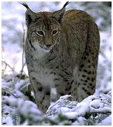 Рысь - дикая кошка