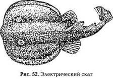 Рыбы, поражающие электричеством