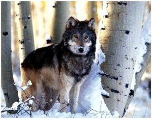 Охота на волка с подхода