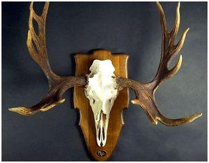 Обработка костных трофеев: очистка черепа