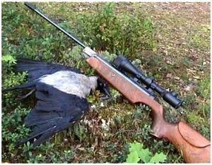 Охота на ворон с пневматической винтовкой