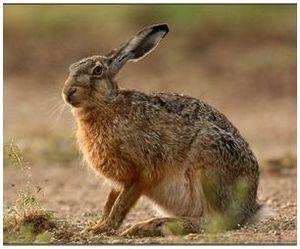 Дикое животное заяц