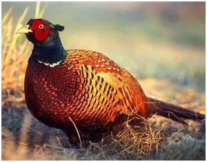 Повадки фазана