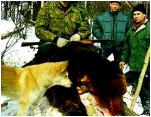 Охотничья собака против медведя