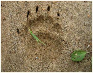 Следы барсука и как найти кормежки и норы животного