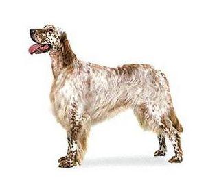 Английская охотничья легавая собака