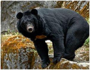 Черный или гималайский медведь: описание, места обитания