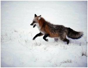 Охота на лисиц по первозимью скрадыванием