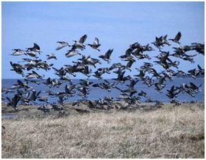 Повадки дикого гуся