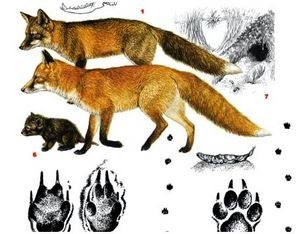 Следы лисиц: отличия от других животных, следы самки и самца