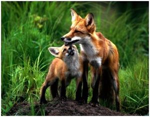 Особенности охоты на лису с манком