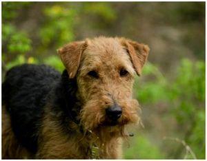 Охотничьи породы собак вельштерьер