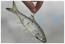 Мертвая рыбка на снасточке отменная приманка для хищников