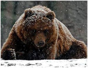 Особенности поведения и характера медведя