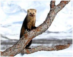 Охота на соболя в Приморье