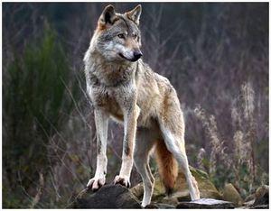 Можно ли есть мясо волка, в чем может быть опасность