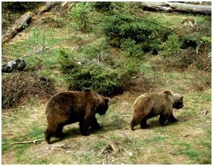 Охота на медведя способом подкарауливания