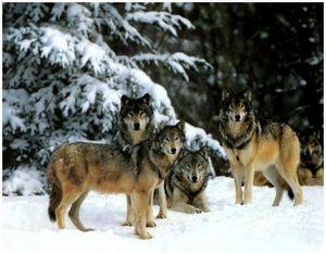 Подвывка при подготовке к облавной охоте на волка